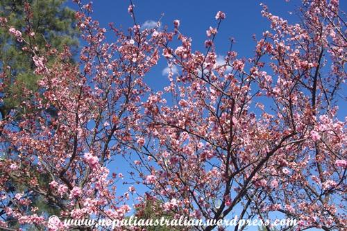 Cherry blossom festival (10)