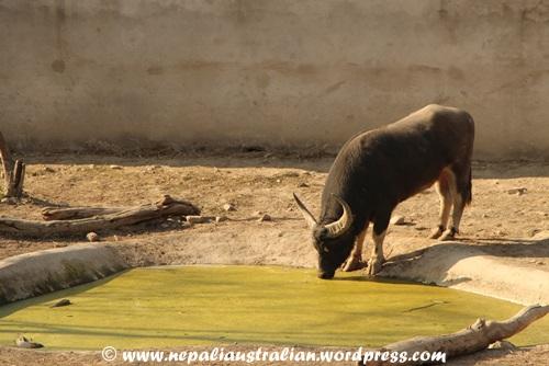 Kathmandu zoo (11)