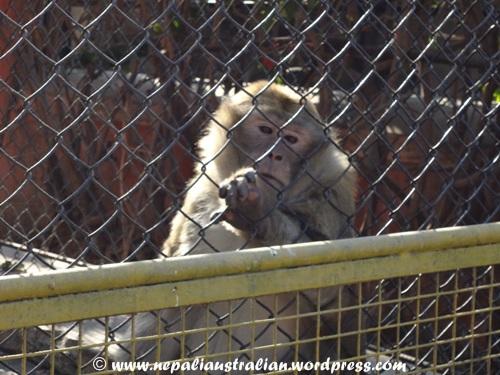 Kathmandu zoo (2)