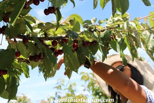 Cherry picking (3)