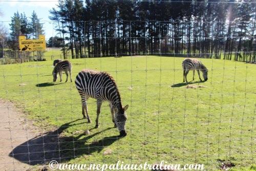 hamilton zoo (18)